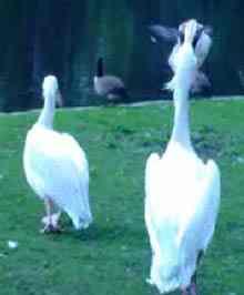 pelican-pigeon.jpg