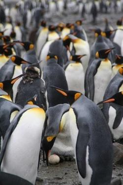 king-penguins_250w.jpg