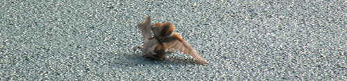 two male iago sparrow fighting on deck Plancius (Kees Moeliker)