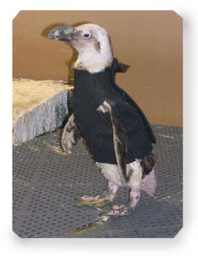 Pierre_the_Penguin