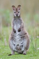 Bennett's wallaby, Bruny Island, Tasmania