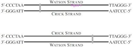 WatsonCrick-strand