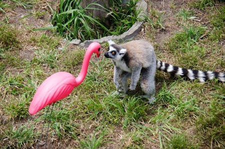 flamingo-lemur