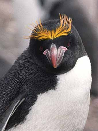 Macaroni_Penguin
