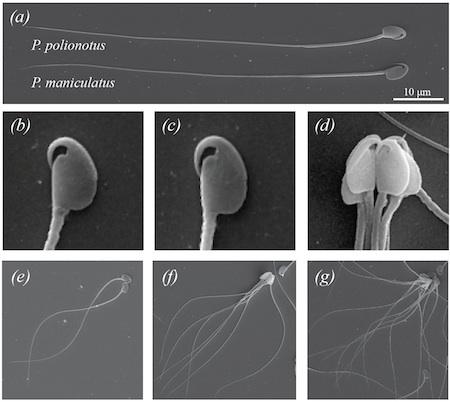 mouse-sperm-7