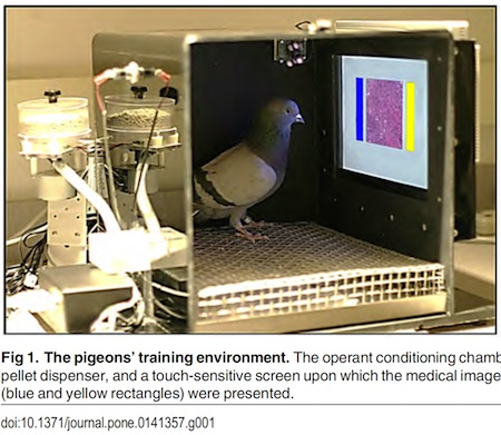 pigeon radiology